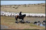 A gaucho, his sheep dogs and his platoon of recenetly sheared sheep