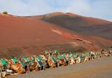 Camels - Timanfaya