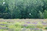 Snowing pollen - Carranque