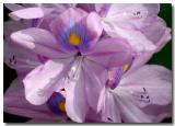 07 June 2005 - Cebu City Purple Flower.jpg