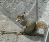 Squirrel in Hampshire 9504455.jpg