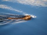 Taylor Park Beaver