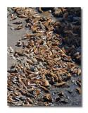 Sea Lion Mass