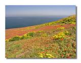 Anacapa Wildflowers