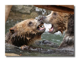 Grizzly Battle