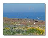 Gulls on Anacapa