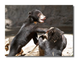 Sun Bear Cubs