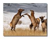 Elk Dance