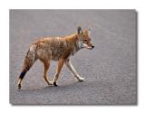 Moraine Park Coyote