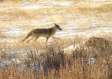 Coyote in Moraine Park