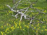 Golden Banner wildflowers