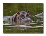 Serengeti Hippo