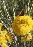 Butterfly on Rabbitbrush
