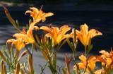 July Daylilies