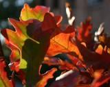 Pedunculate Oaks in October