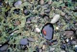 Olympic Peninsula Pebbles