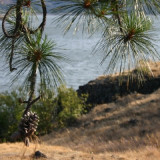 Ponderosa Pine by the Columbia River