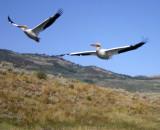 Pelicans Flee