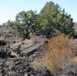 Fern-bush and Juniper