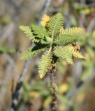 Fern-bush leaves