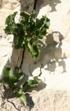 Horseradish Lookalike and its Shadow