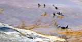 Pigeons Soaking Feet