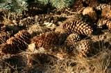 Blue Spruce Cones
