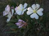 Desert Evening-primrose