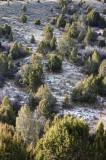 Hillside of Junipers