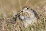 richardson's ground squirrel 092808IMG_5742