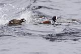 harlequin ducks 041009_MG_2894