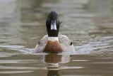 hybrid duck 040909_MG_1103