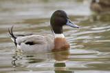 hybrid duck 040909_MG_1128