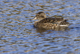 green-winged teal 042909_MG_6817