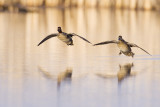 green-winged teal 050109_MG_7855