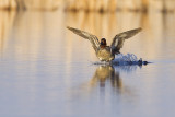 green-winged teal 050109_MG_7858