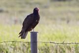 turkey vulture 070409_MG_2635