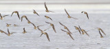 shorebirds 082810_MG_9119