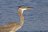 Herons, Pelicans, Cormorants, Ibis,