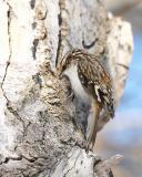brown creeper 4