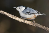 white-breasted nuthatch 030608IMG_0107