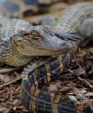 Young Alligators