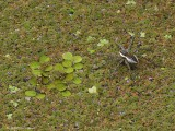 Fishing Spider on Duckweed