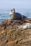 Yawning Seal