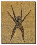 Nursery Web Spider - Dolomedes albineus