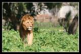 Lions Games