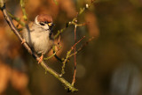 Tree sparrow - Parus montanus