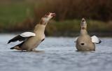 Egyptian goose - Alopochen aegyptiacus