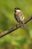 Willow tit - Parus montanus