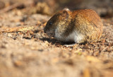Bank vole - Rosse Woelmuis, Clethrionomys glareolus